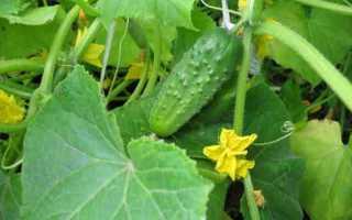 Огурцы Капелька – безупречный сорт для возделывания на открытых солнечных грядках