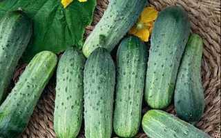 Огурец Даша F1: характеристика, правила выращивания, советы огородников
