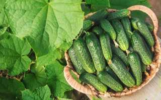 Огурец Гармонист F1: характеристика, правила выращивания советы садоводов