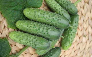 Сорт огурцов Забава f1 — характеристика и важные правила выращивания