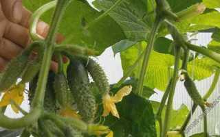 Огурец Богатырская сила f1 — как получить первосортный урожай в ранние сроки