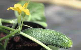 Огурец Альпака F1 – сорт с дружным и равномерным созреванием плодов