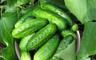 Огурцы Джулия f1 – партенокарпический сорт для выращивания в первом и втором оборотах