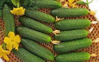 Огурцы По щучьему велению f1 – сорт с длительным плодоношением и невероятно вкусными хрустящими плодами