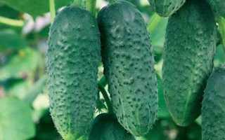Огурцы Малютка f1 – высокопродуктивный сорт с длительным плодоношением