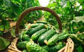 Огурец Шик f1 – изысканная разновидность с плодами лечебного свойства: описание и культивирование