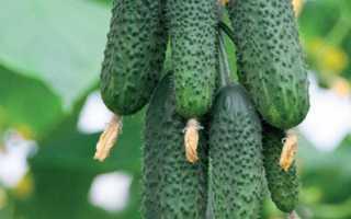 Огурец Авантюра f1 — бугорчатые зеленцы средних размеров с отменными вкусовыми качествами