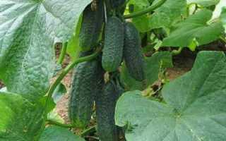 Огурцы РМТ F1 – скороспелый сорт с сочными и сладкими плодами
