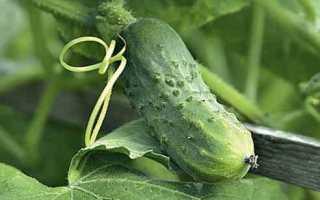 Огурцы Вьюга f1 – холодостойкая культура с ранними и вкусными плодами