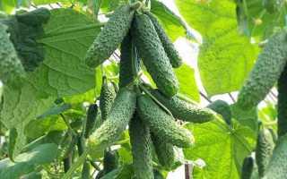 Сорт огурцов КС 90 f1 – универсальная разновидность, разработанная японскими селекционерами агрофирмы Kitano Seeds