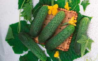 Огурец Хрустящий ломтик f1 — среднеспелая разновидность с гладкими и сочными корнишоными, предназначенными для универсального применения