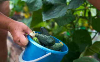 Огурец сорт Легенда f1 – прекрасный сорт для выращивания в теплицах и парниках