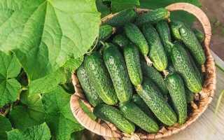 Сочные и сладкие плоды – огурец Шпингалет f1: описание и характерные особенности