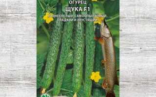 Огурцы Щука f1: описание и основные характеристики сорта