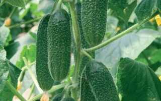 Огурцы Ребятки с грядки f1 — высокоурожайный гибрид, обладающий стойкостью к любым погодным условиям