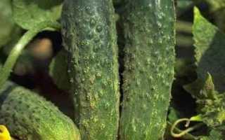 Огурцы Аванс f1 – сорт для гурманов, не нуждающийся в особом уходе