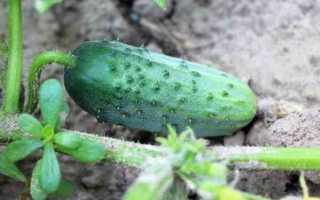 Огурец Дачный посол f1 – корнишонный сорт для засола и консервации