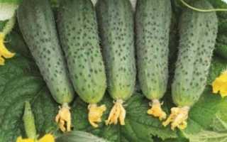 Огурец Бастион f1 — описание и отзывы тех кто выращивал сорт