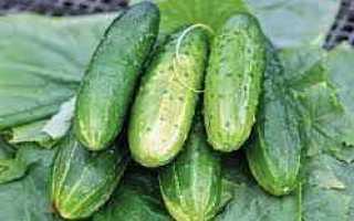 Огурцы Таганай f1: описание, правила выращивания, отзывы садоводов