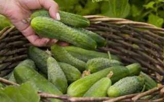 Огурец Куча Мала f1: характеристика и правила выращивания сорта