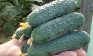 Огурец Северин: характеристика, особенности, правила выращивания