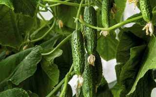 Огурец сорт Брейк F1: характеристика и особенности выращивания сорта