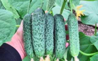 Огурцы Атаман f1 — характеристика и важные правила выращивания сорта