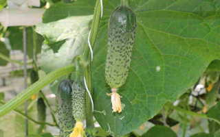 Огурец Марс f1: характеристика и особенности выращивания сорта