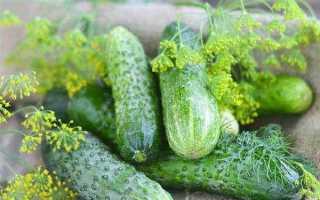Огурцы Конни F1: характеристика, правила выращивания, советы садоводов