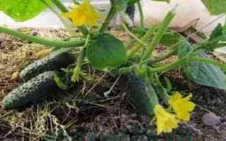 Огурцы Герман F1: характеристика, правила выращивания, отзывы огородников