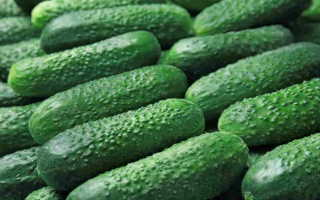 Огурец Рубинштейн f1 – сорт с дружным и обильным созреванием плодов
