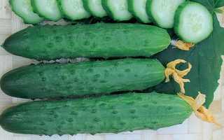 Огурцы Флагман f1 – партенокарпический гибрид с равномерной отдачей зеленцов