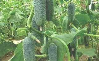 Огурцы Детки на ветке f1: характеристика и важные правила выращивания сорта