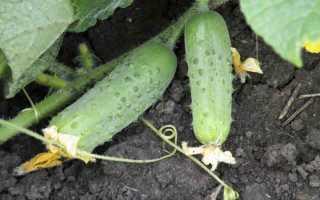Огурцы Соната f1 – гибридный сорт от голландских селекционеров, выведенный для возделывания в холодных регионах