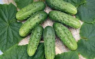 Огурцы Стандарт 2020 f1 – самоопыляемый сорт с небольшими выровненными плодами