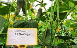 Огурцы Киборг F1: характеристика, особенности выращивания, советы огородников