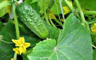Огурцы Домовенок f1 – уникальнейший сорт от селекционеров агрофирмы «Аэлита»: характеристика и правила выращивания