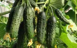Огурцы Стрекоза f1 – отменный гибрид с продолжительным плодоношением и высоким показателем урожайности