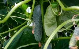 Огурец Сибирские бананы f1 — высокопродуктивный гибрид с отменными вкусовыми характеристиками и универсальностью применения