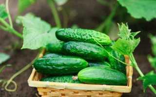Огурцы Братишка f1 — характеристика и правила выращивания сорта