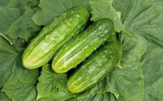Огурцы Обильный: характеристика, правила выращивания, советы садоводов