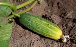 Огурцы Парус F1 — характеристика вкусных плодов для универсального пользования