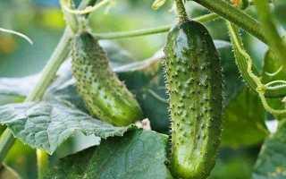 Огурцы Пасадена f1 – высокопродуктивный сорт с отменными по вкусу и внешним данным плодами