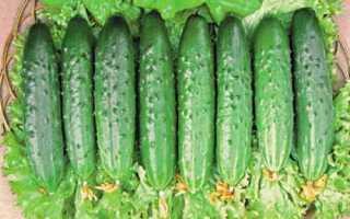 Огурцы Бакс f1 – сорт славящийся богатым урожаем вкуснейших и изящнейших плодов