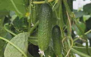 Огурцы Профи f1 – гибридный сорт с высоким показателем продуктивности при культивации в суровых условиях
