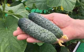 Огурцы Паратунка f1: характеристика, правила выращивания, отзывы садоводов