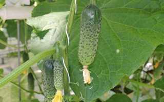 Огурцы Луховицкие F1: характеристика, правила выращивания, советы садоводов