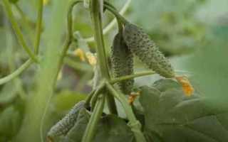 Огурцы Добрыня f1 — правила выращивания и отзывы огородников