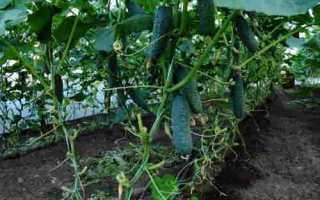 Огурцы Спино F1: характеристика, правила выращивания, советы огородников