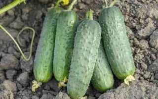 Огурец Проликс — выращивание, плюсы и минусы сорта